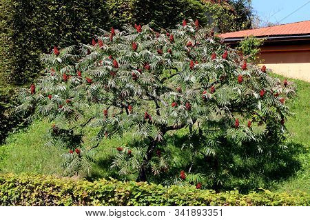 Staghorn Sumac Or Rhus Typhina Dioecious Deciduous Tree With Dark Red Dense Cone Shaped Flowers And