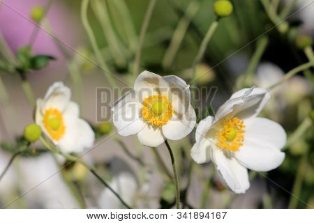 Three Japanese Anemone Or Anemone Hupehensis Or Thimbleweed Or Windflower Or Chinese Anemone Or Anem