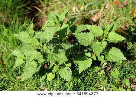 Top View Of Common Nettle Or Urtica Dioica Or Stinging Nettle Or Nettle Leaf Or Nettle Or Stinger He
