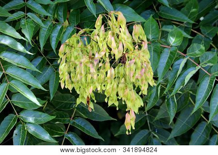 Tree Of Heaven Or Ailanthus Altissima Or Ailanthus Or Varnish Tree Or Chouchun Suckering Deciduous T