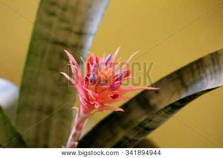 Tufted Airplant Or Guzmania Stemless Evergreen Epiphytic Perennial Flowering Plant With Narrow Orang