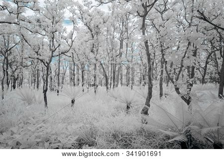 Beautiful Group Of Trees In Saithong National Public Park In Chaiyaphum, Thailand In Infrared Photog
