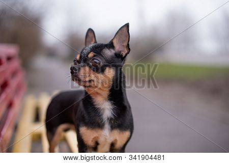 Chihuahua Is Sitting On The Bench. Pretty Brown Chihuahua Dog Standing. Chihuahua Has A Cheeky Look.