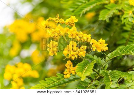Yellow Flower Of Rainforest Cassia (cassia Surattensis Burm.) Is A Genus Of Flowering Plants In The