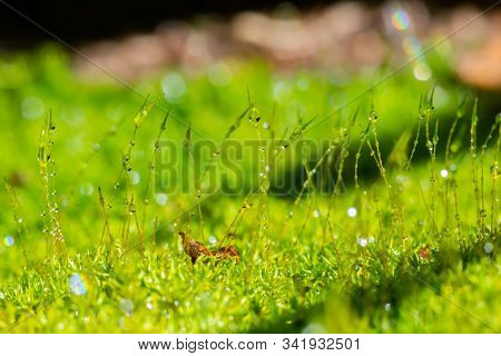 Beautiful Group Of Moss With Water Drop (selective Focus)