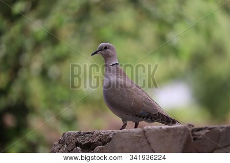 Dove (pigeon) On The Rock Surface.the Mourning Dove Is A Member Of The Dove Family, Columbidae. Beau