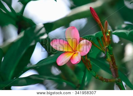 Frangipani Flower - Pink Frangipani Flower Blooms With A Blur Background