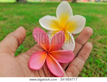 Frangipani Flower -frangipani Flower Blooms With A Blur Background, Pink Frangipani Flower On Hand