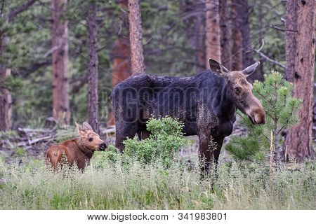 Cow Moose And Calf. Wild Moose Living In The Forests Of The Colorado Rocky Mountains