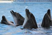 The bottle-nosed dolphins in aquarium. Closeup poster