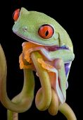 A baby red-eyed tree frog is sitting on a vine. poster