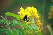 Carpenter Bee Busy Pollinating Yellow flowers on a shrub. poster