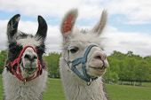 Two inquisitive llamas posing for the camera on a rural farm. poster