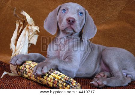 Gray weimaraner puppy posed with Indian corn poster
