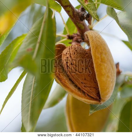 Ripe almonds on the tree branch