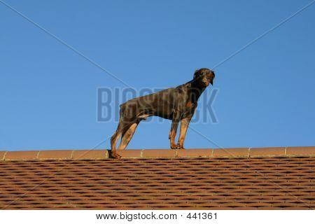 poster of doberman dog standing on a tiled roof, against a blue sky