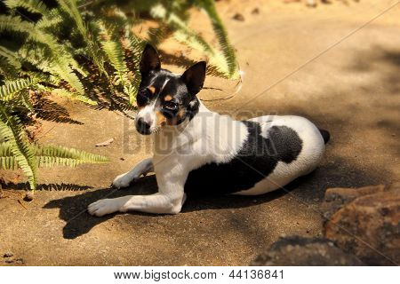 Picture of a Fox Terrier Laying in the Sun poster