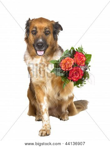 Adorable brown dog sitting looking at the camera offering a posy of colourful orangey red flowers in its paw to a loved one isolated on white poster
