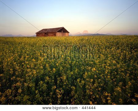 Barn & Canola Field