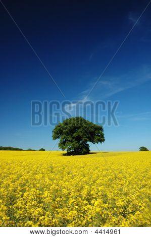 Oil Seed Rape Field In The Summer Sun