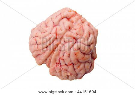 Brain of a black-tailed deer isolated on white for Obama's new brain research