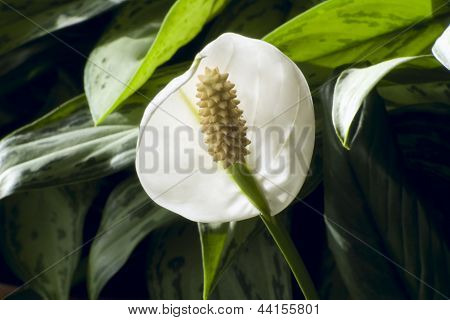 Peace Lily In Bloom