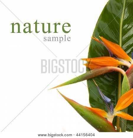 bouquet of bird of paradise flowers (Strelitzia) isolated on white bacground poster