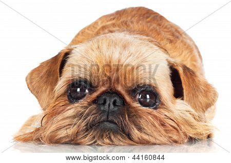brussels griffon looking sad