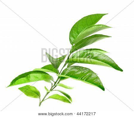 Branch Of Citrus Tree