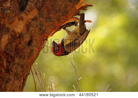 Upside Down Black Collared Barbet Working on Nest poster