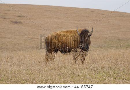 Bison/American Buffalo