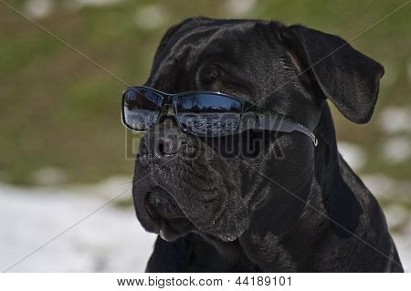 Dog with sunglases