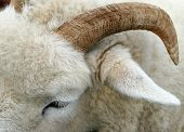 close up of a horn of a ram and part of its face and woolly coat. poster
