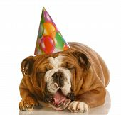 english bulldog wearing birthday hat yawning isolated on white background poster