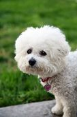 A Bichon Frise dog looks for a cat while outdoors poster