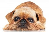 brussels griffon breed dog lying down on white poster