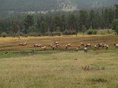 Herd of elk grazing in Rocky Mountain National Park. poster