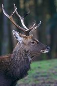 Portrait of a deer in front of a dark forest poster