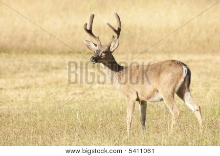 Coastal Black-tailed Deer