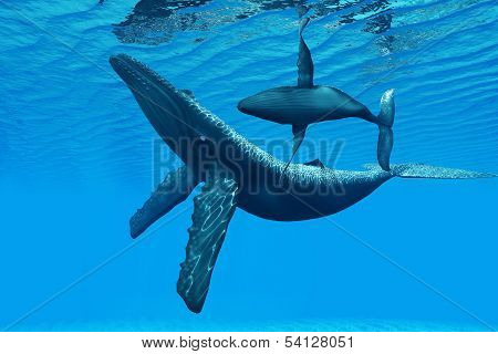 A Humpback Whale calf swims around its mother in a graceful ocean dance. poster