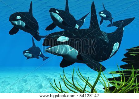 A pod of Killer whales swim along a reef looking for fish prey. poster