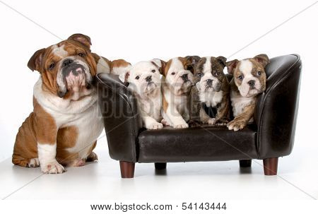 dog family - english bulldog father sitting beside litter of four puppies sitting on couch isolated on white background