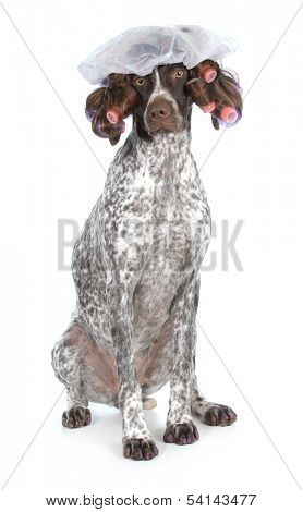 poster of dog grooming - german shorthaired pointer at the beauty salon isolated on white background