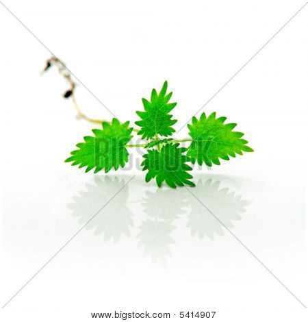 Isolated Herbal Nettle With Root
