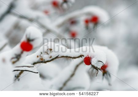 rosehip berries covered with snow