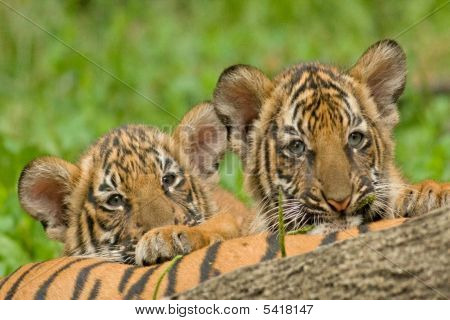 Two Tiger Brothers