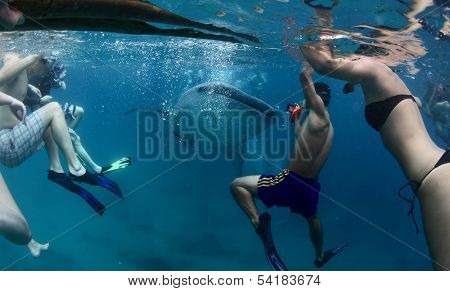 Group of people snorkeling with whale shark