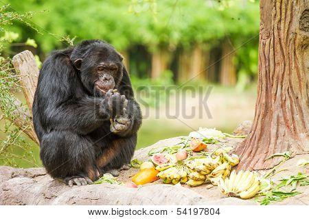 Chimpanzee In Chiangmai Nightsafari  Chiangmai Thailand