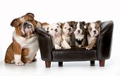 dog family - english bulldog father sitting beside litter of four puppies sitting on couch isolated on white background poster