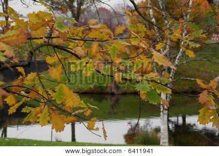 Oak Leaves Near The Lake